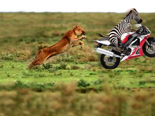 Funny Zebra 3-2011