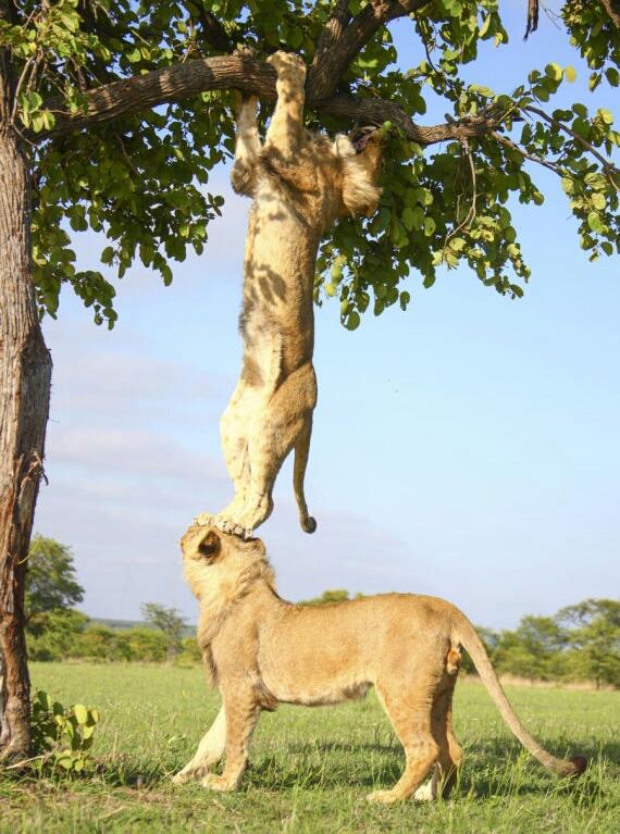 2yrwo-lion-oops