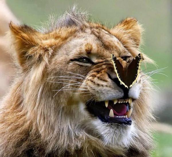 e2w5w-butterfly-lion