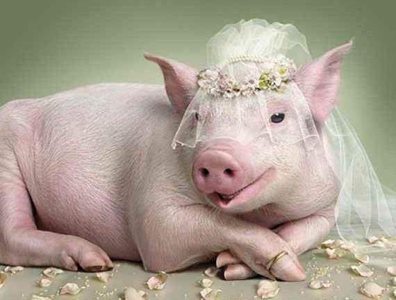 Funny-Pig-01-570x432