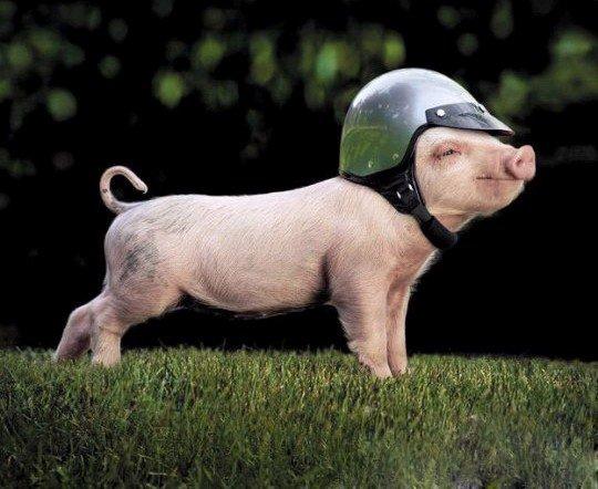 Funny-Pig-04