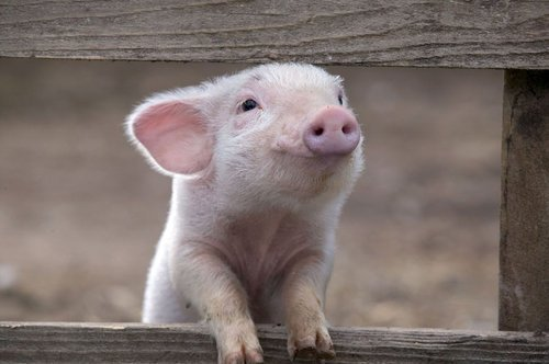 Funny-Pig-16