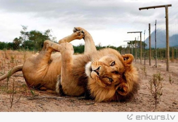 Funny-Lion-Playing-In-Ground